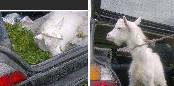 Parduodamo <em>golfuko </em>reklamai panaudota ožka