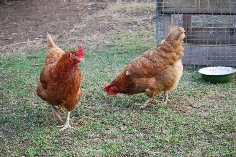 Višta ar viščiukas: ar žinote, ką iš tikrųjų perkate ir valgote