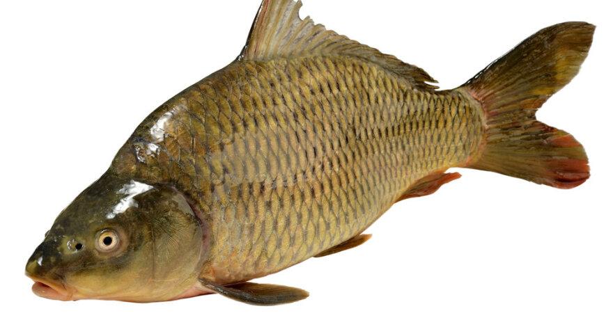 Karpinės žuvys