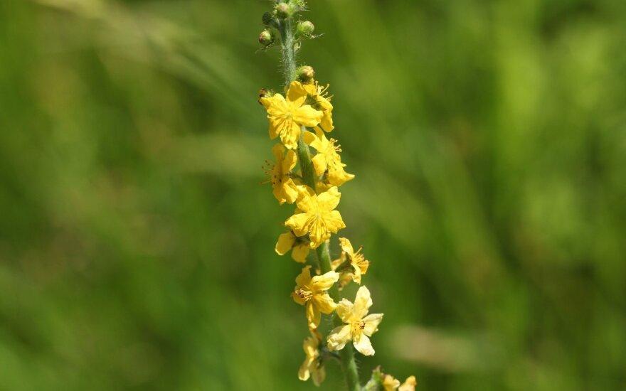 Be reikalo primiršta žolių karalienė - vienas iš stipriausių imunitetą stiprinančių augalų