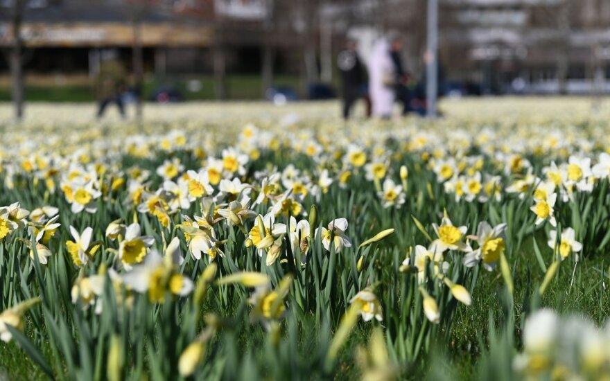 Narcizų šventė Druskininkuose