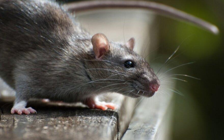 Nužmoginimo ciklas areštinėje: purvas, šaltis ir žiurkės