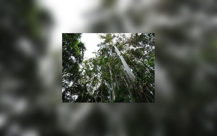 EP siekia nutraukti prekybą neteisėtai kertama tropine mediena