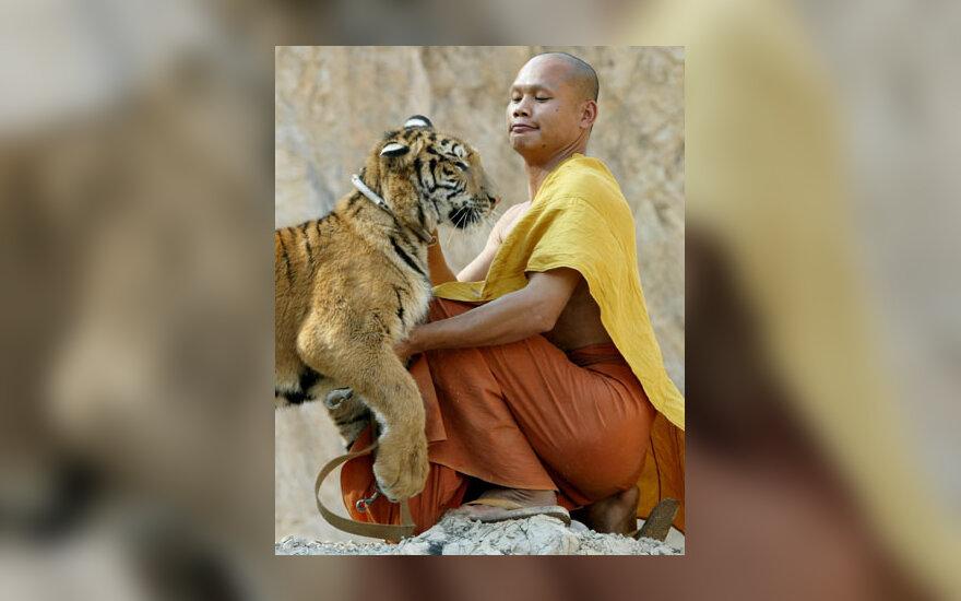 Budistų vienuolis žaidžia su Bengalijos tigru