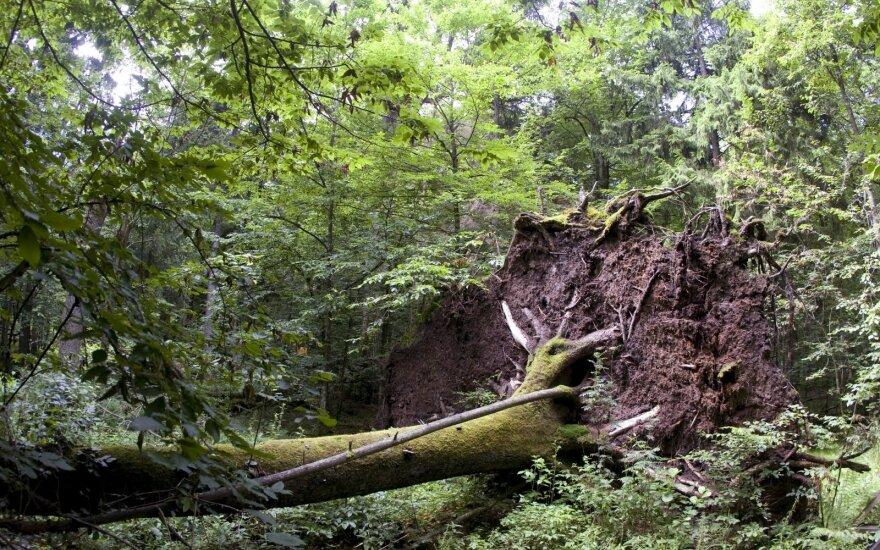 ETT: Belovežo girią kirtusi Lenkija pažeidė ES direktyvas