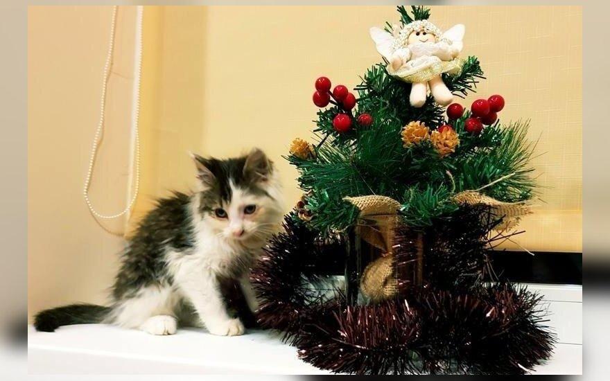 Katinėlis Tūzas nėra žaislas vaikams, bet nori būti jiems draugams: ieško namų