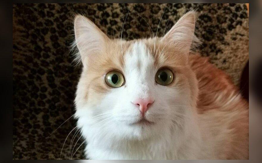 Persikinė katytė Dytė nori rasti namus
