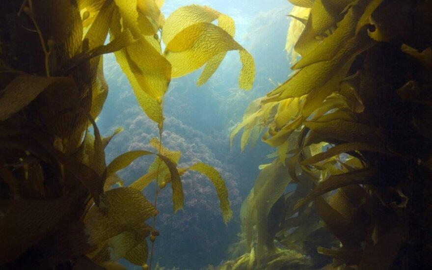 Tobulas maistas iš jūros dugno: stiprina širdį, valo ir tonizuoja organizmą