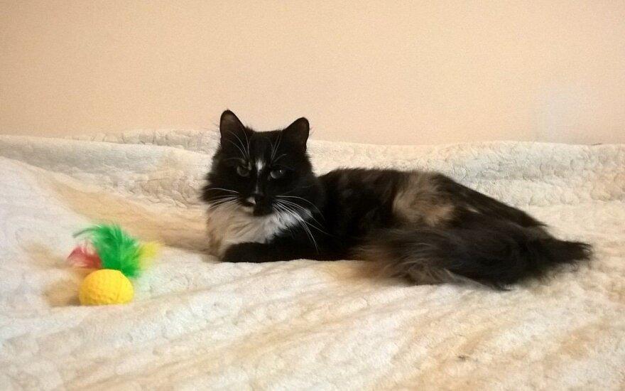 Rasta trispalvė katytė: prašo atsiliepti šeimininkus