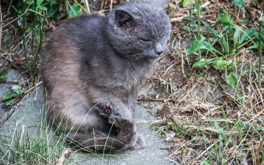 Išmestas naminis katinas tapo gatvės katinų kovų auka