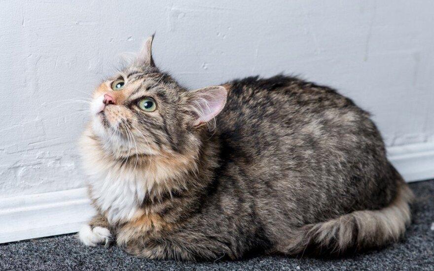 Dovanojama švelni katė Voverytė