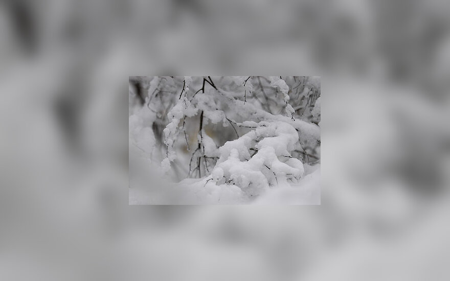 Žiema, sniegas, šaltis, krūmai