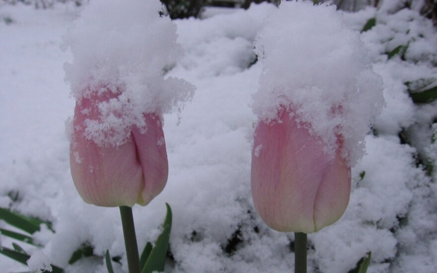 Snow in Telšiai. Photo / DELFI reader Vida