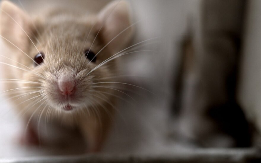 IKEA išima iš prekybos pelių graužtus saldainius