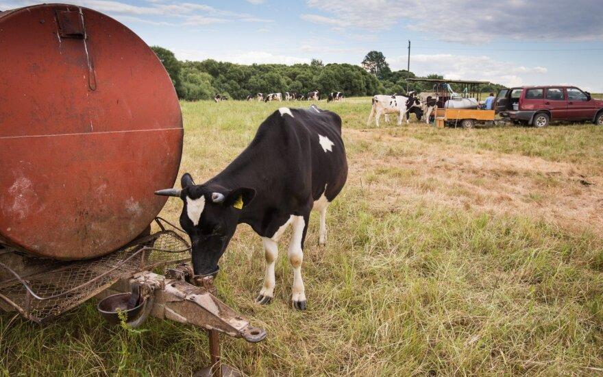 Lietuvoje pieno ūkiai auga, tačiau vis dar mažiausi ES