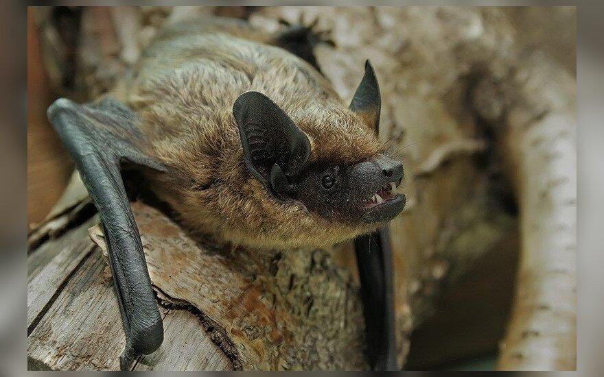 Daugiabučiuose gyvenantis šikšnosparnis