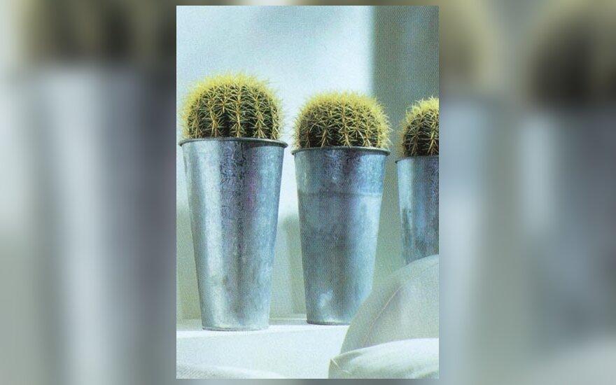 Kaktusai_4
