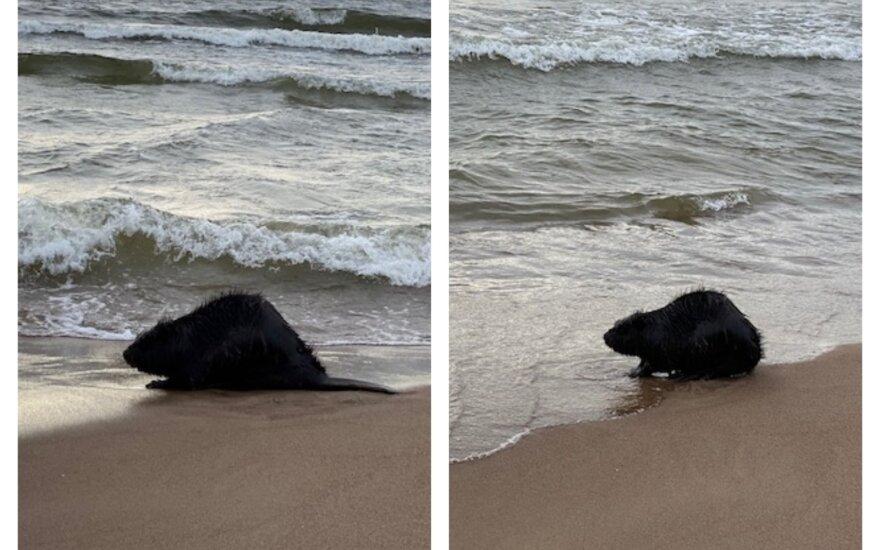 Bebras jūroje