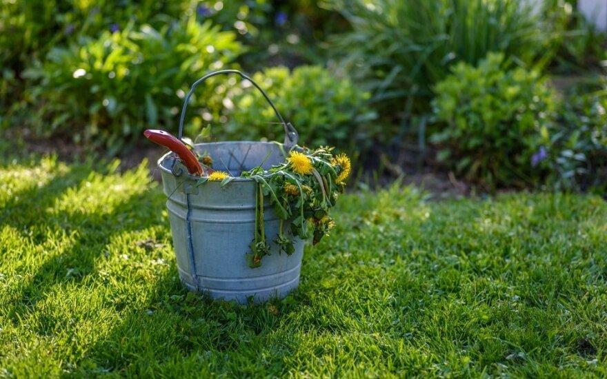 Piktžolės: iš nežinojimo sodininkai patys prisideda prie jų dauginimo