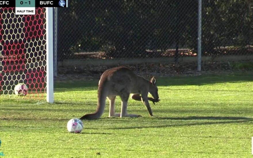Į stadioną išbėgusi kengūra pristabdė futbolo varžybas
