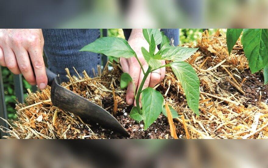Šiaudų patale – ankstyvesnis derlius