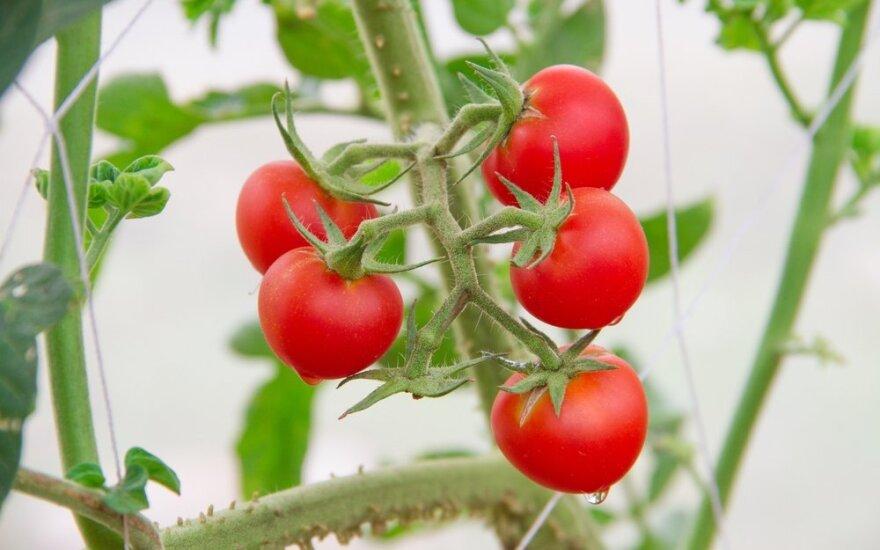 Mėnulio kalendorius rugpjūčiui: kada skinti pomidorus, raugti agurkus ir sodinti braškes
