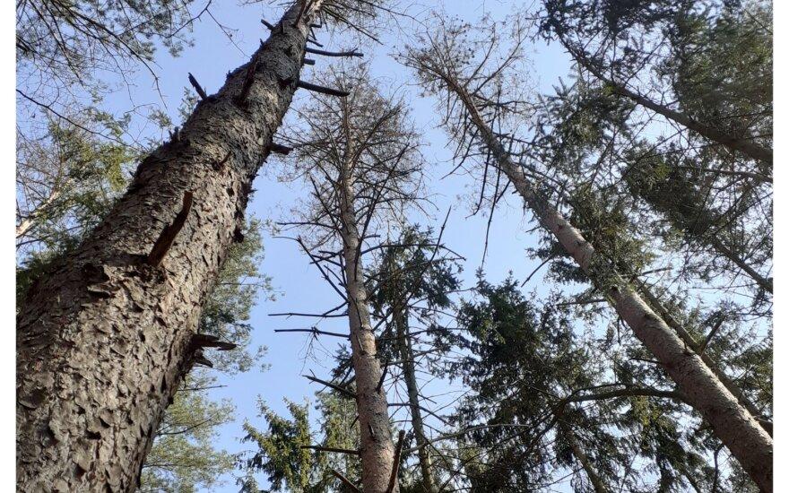 Kenkėjų paveikti medžiai