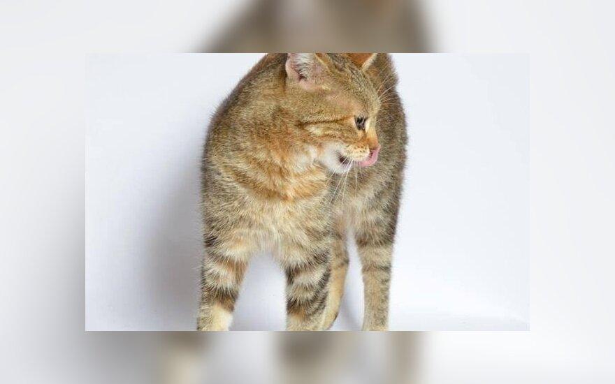 Draugiška ne tik žmonėms, bet ir kitiems katinams: Babasinai ieškomi namai