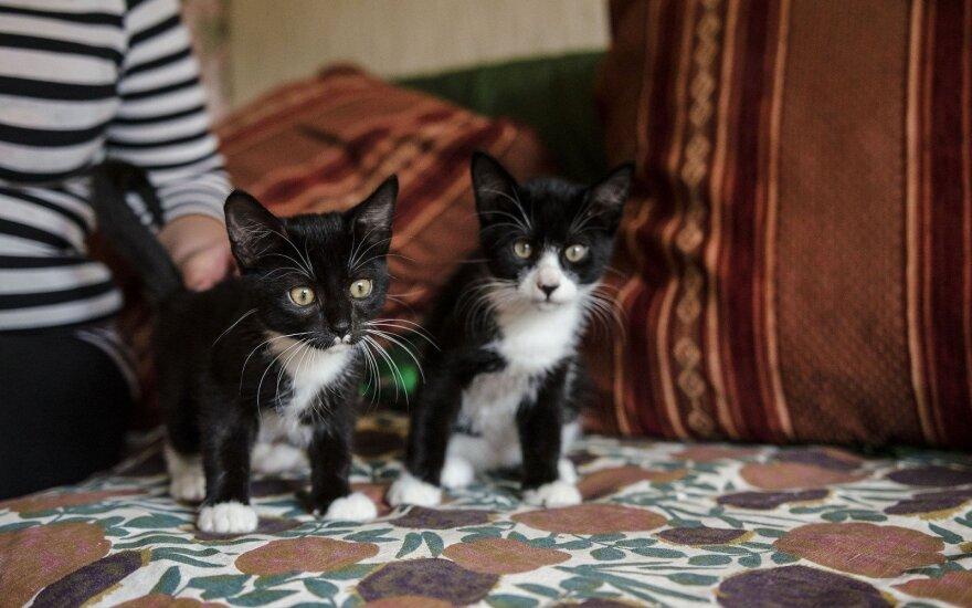 Laikinai išgelbėtus kačiukus globojančiai moteriai reikia pagalbos: ieško šeimininkų