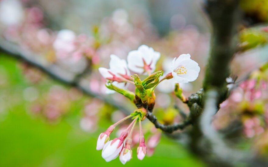 Fotografuok! Žydintis pavasaris!