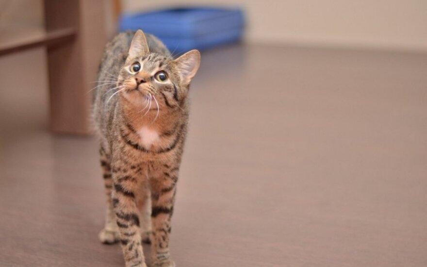 Tvarkinga, 6 mėn. sterilizuota katytė Marka svajoja apie namus!