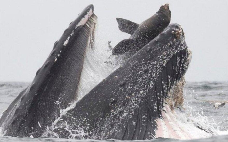 Jūrų liūtas patenka banginiui į burną