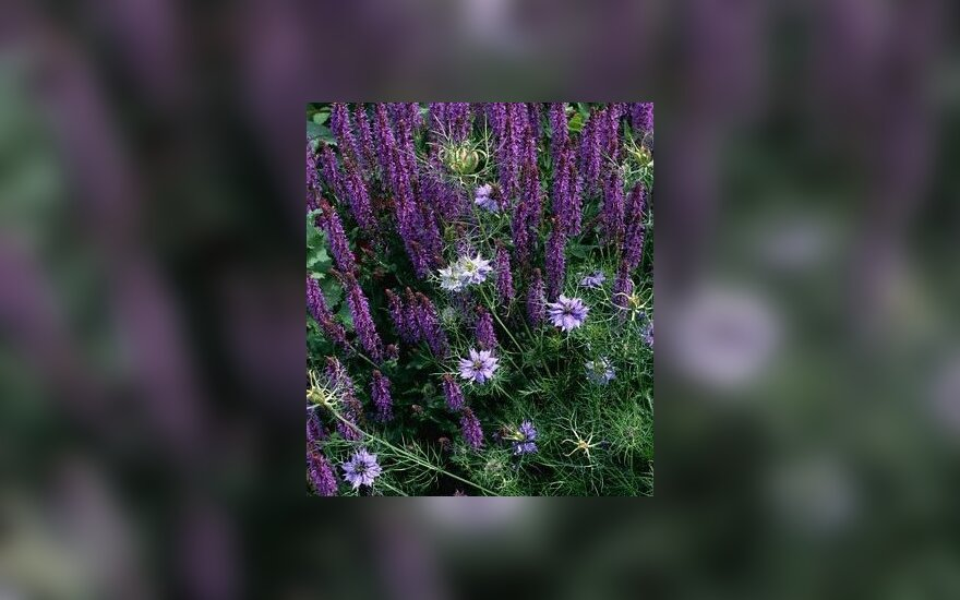 Gijiniai šalavijai (Salvia nemorosa )