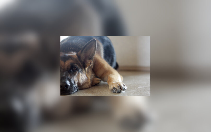 Šuo, vokiečių aviganis