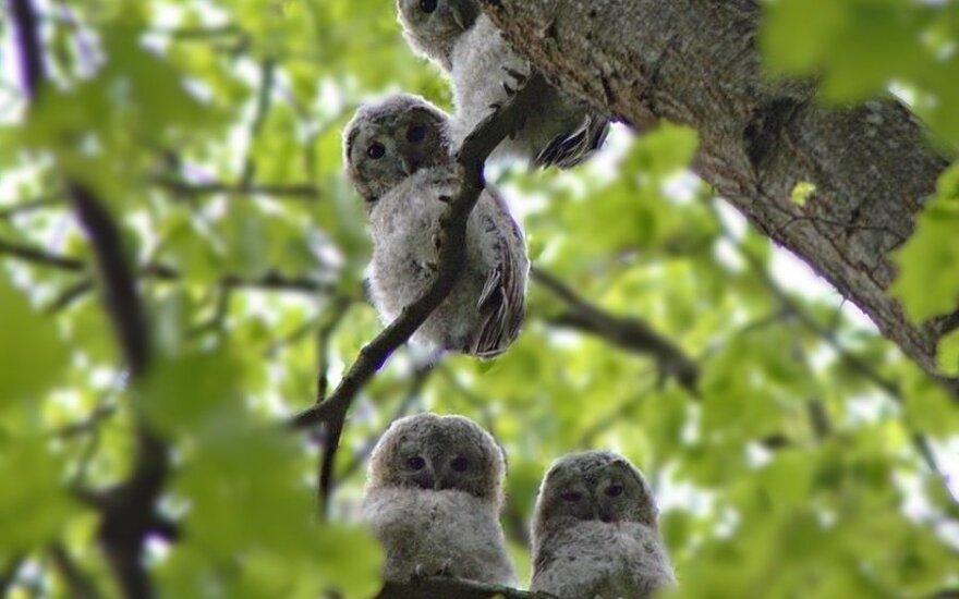 Naminės pelėdos jaunikliai