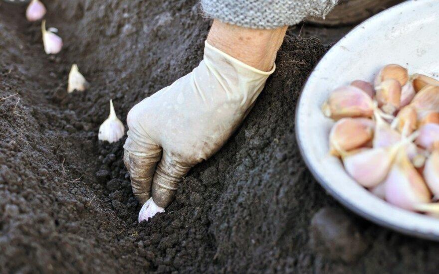 Žieminiai česnakai - pats laikas sodinti