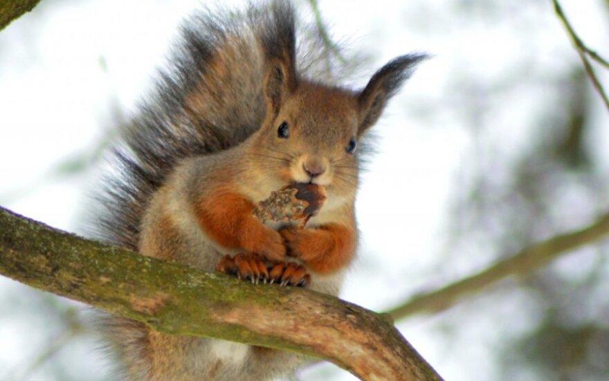 Riešutą skanauja neįtikėtinai mielas voveriukas