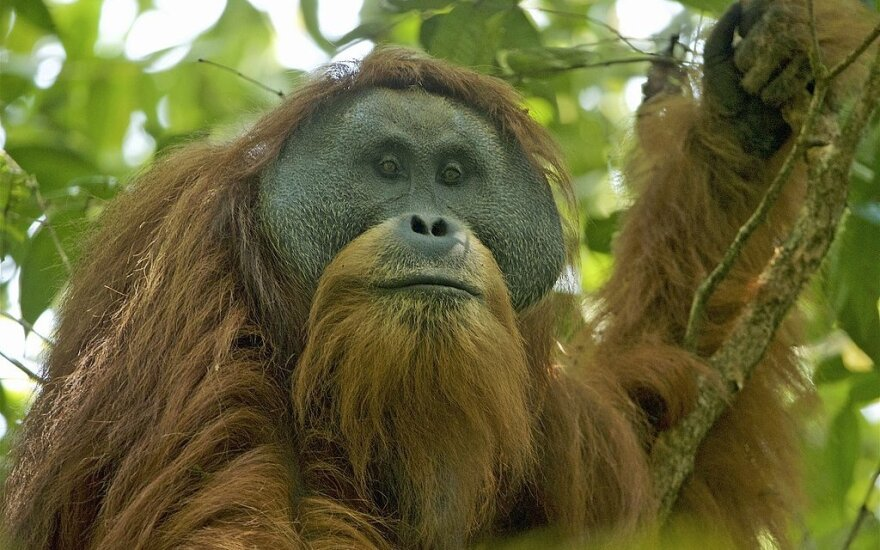 Tapanulio orangutanas