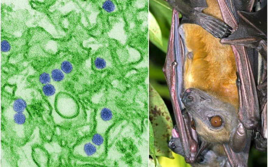 Keturiuose mėginiuose, paimtuose iš trijų skirtingų rūšių šikšnosparnių, aptikta Zika viruso RNR.