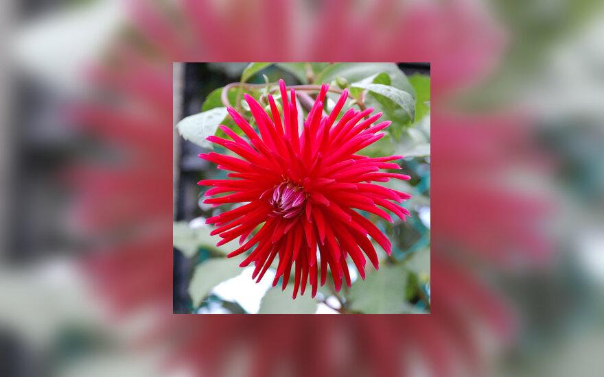 Jurginas, gėlė