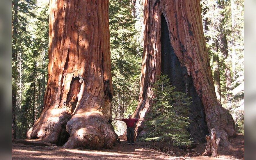 Didieji mamutmedžiai