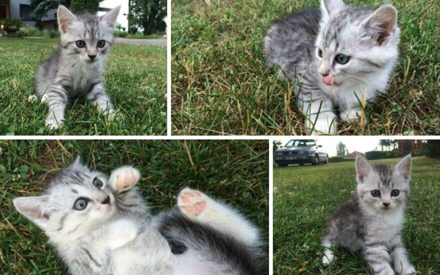 Mažieji Mėnuliukai – <em>sidabriniai</em> kačiukai