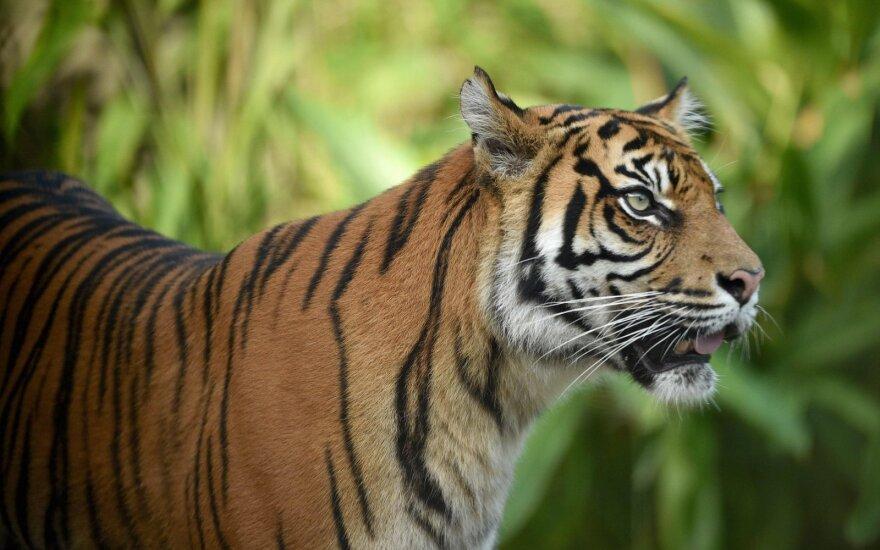 Sumatrinis tigras