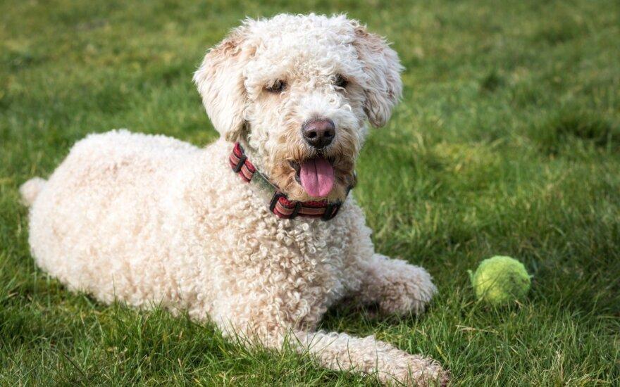 Romanijos vandens šunys: geri kompanionai ir brangiausių pasaulio grybų ieškotojai