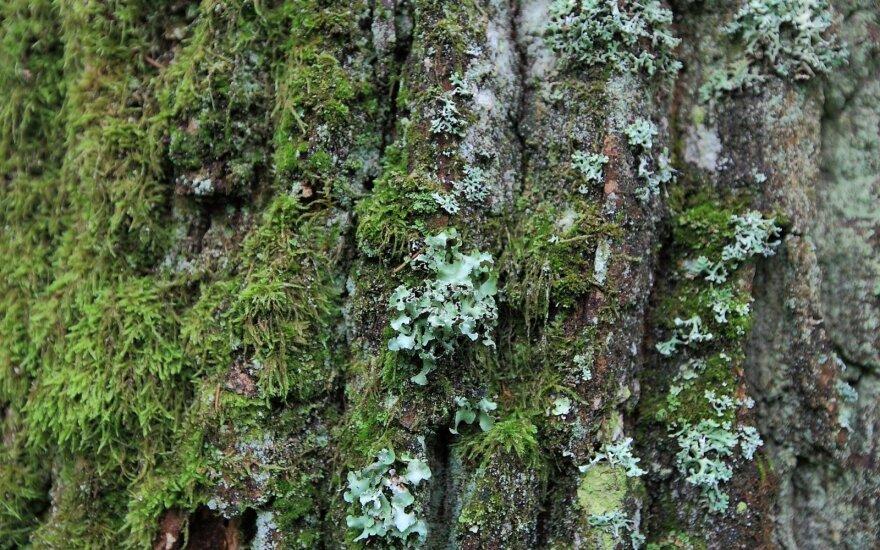 Naujai rasta žalsvosios kežytės radavietė Kernavės girininkijoje, planuojamoje kirsti teritorijoje. Dariaus Stončiaus ir Ramūno Jančiulevičiaus nuotr.