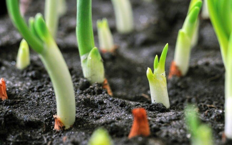 Norite ankstyvesnio derliaus? Sėkite daržoves rudenį