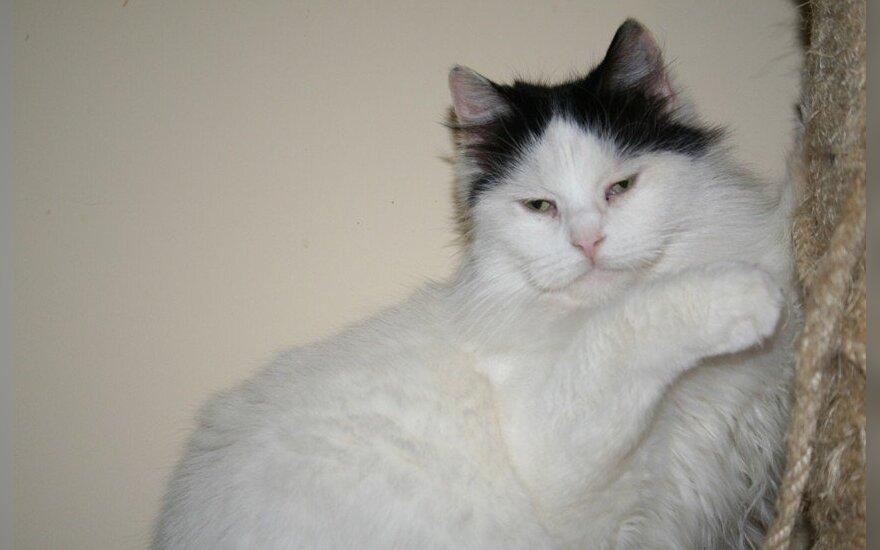 Dovanojama dvispalvė katytė