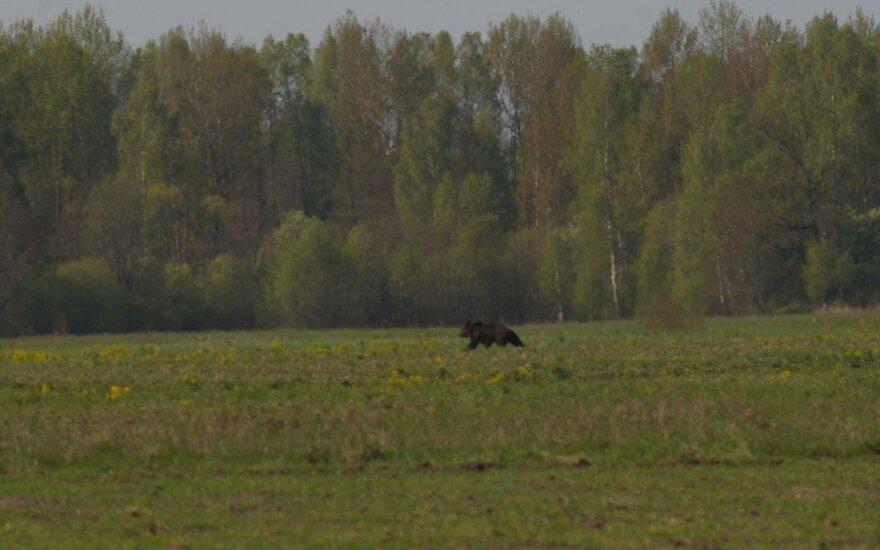 A bear in Trakai area