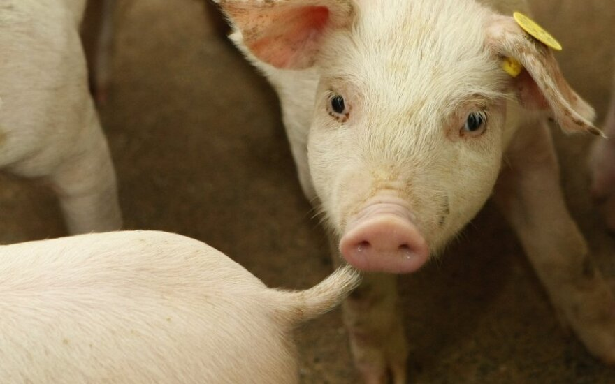 Lithuanian prosecutors continue investigation into swine fever outbreak