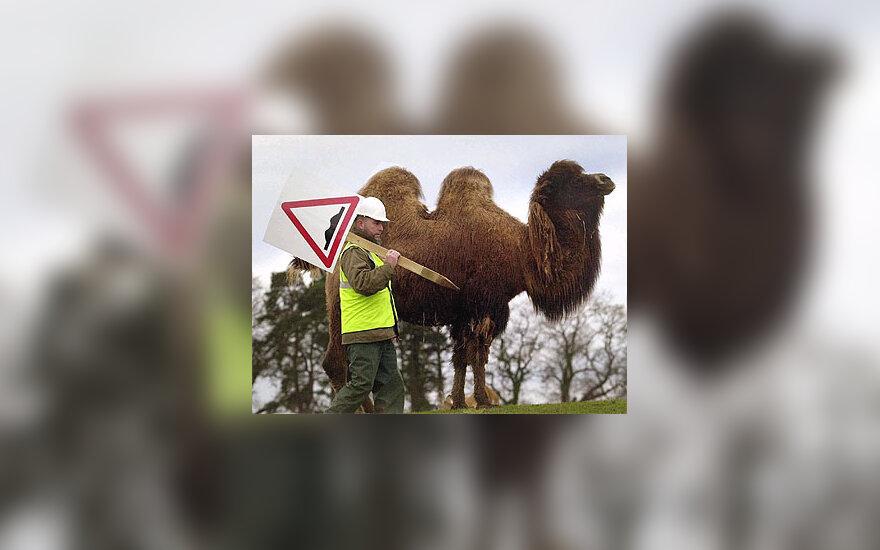 """Atsargiai: kupranugaris!"""